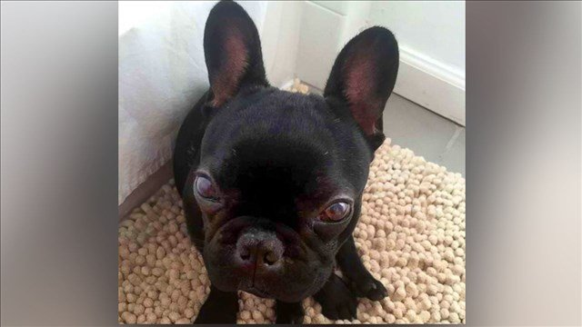 Kokito, 10-month-old French bulldog died in an overhead bin during a flight on United Airlines