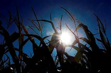 (AP Photo/Orlin Wagner). In this Aug. 28, 2013, photo the sun shines through corn growing in a field near Oregon, Mo.
