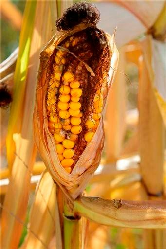 (AP Photo/Seth Perlman, File). File - In this Aug. 27, 2013, file photo an ear of corn hangs on a withered stalk in Farmingdale, Ill., corn field.