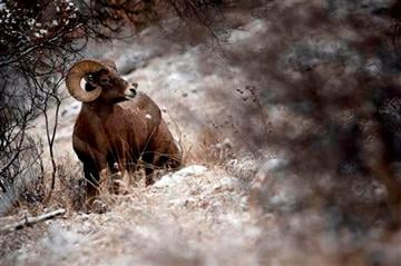 (AP Photo/Rapid City Journal, Chris Huber). Light snow falls as a bighorn sheep ram along a hillside across from Cleghorn Springs State Fish Hatchery on Highway 44 in Rapid City, S.D., on Tuesday morning, Dec. 3, 2013.