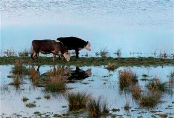 (AP Photo/Alastair Grant). In this photo taken Sunday Feb. 2, 2014, Cattle try to graze amidst the floodwater of the River Parrett near Langport, Somerset England.