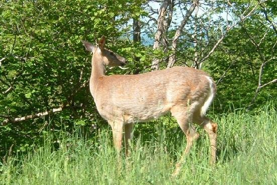 West Virginia hunters harvested 104,223 white-tailed deer in 2014/.