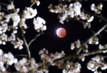 (AP Photo/Kyodo News). A total lunar eclipse is observed above cherry blossoms in Shiraishi city, Miyagi prefecture, northeastern Japan, Saturday, April 4, 2015. JAPAN OUT, MANDATORY CREDIT