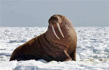 (Joel Garlich-Miller/U.S. Fish and Wildlife Service via AP). This April 13, 2004 photo provided by the U.S. Fish and Wildlife Service shows a large Pacific bull walrus on ice in the Bering Sea off the west coast of Alaska.